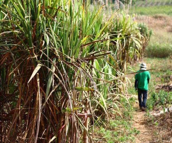 Guatemalan sugar industry